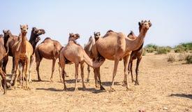 Herd of Indian Camels, Camelus dromedarius, Stock Photography