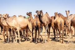 Herd of Indian Camels, Camelus dromedarius, Stock Photos