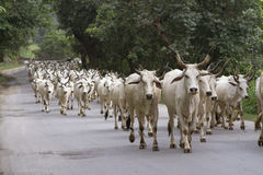 Herd of indian cows Stock Photo