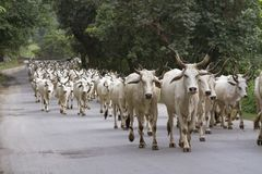 Herd of indian cows Stock Photo