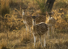 Herd of Indian Spotted Deer Royalty Free Stock Image