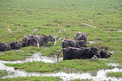 Herd of Indian Water Buffaloes Stock Image