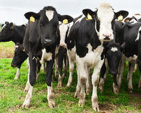 Herd of of inquisitive Holstein cows Stock Photo