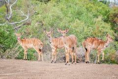 Herd of Inyala Royalty Free Stock Image