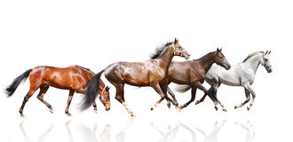Herd isolated. Purebred stallions herd isolated on white Stock Photos