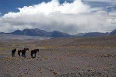 Herd of  wild chilean horses Equus ferus caballus on barren dry terrain at altiplanos of Atacama desert, Chile royalty free stock image