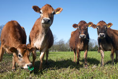 Herd of jersey cows. At a meadow stock images