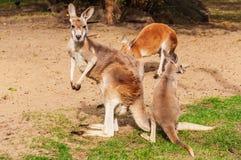 Herd of kangaroo Royalty Free Stock Photography