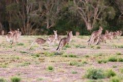 Herd of kangaroos run away Royalty Free Stock Image