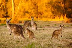 Herd of kangaroos at twilight Royalty Free Stock Photos