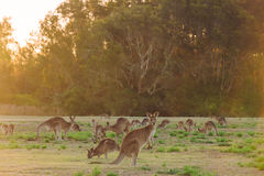 Herd of kangaroos at twilight Stock Image