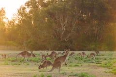 Herd of kangaroos at twilight Stock Image