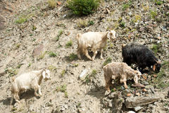 Herd of kashmir goats from Indian highland farm Stock Photo
