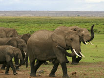 A herd of kenyan elephants Stock Photo