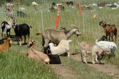 Herd of kiko goats Stock Image