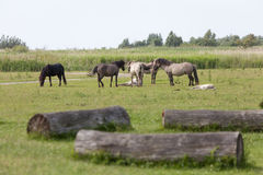 Herd of konik horses in a field Royalty Free Stock Photography