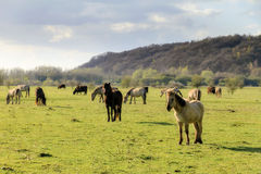 Herd of Koniks Royalty Free Stock Images