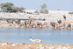 Herd of Kudu drinking from Okaukuejo waterhole. Wildlife Safari in the Etosha National Park, majestic travel destination in Namibi Stock Photography