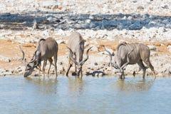 Herd of Kudu drinking from Okaukuejo waterhole. Wildlife Safari in the Etosha National Park, majestic travel destination in Namibi Stock Photo