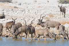 Herd of Kudu drinking from Okaukuejo waterhole. Wildlife Safari in the Etosha National Park, majestic travel destination in Namibi Stock Images