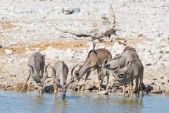 Herd of Kudu drinking from Okaukuejo waterhole. Wildlife Safari in the Etosha National Park, majestic travel destination in Namibi. A, Africa Stock Photos