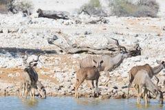 Herd of Kudu drinking from Okaukuejo waterhole. Wildlife Safari in the Etosha National Park, majestic travel destination in Namibi. A, Africa Royalty Free Stock Image