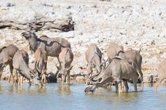 Herd of Kudu drinking from Okaukuejo waterhole. Wildlife Safari in the Etosha National Park, majestic travel destination in Namibi. A, Africa Stock Photo