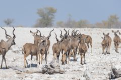 Herd of Kudu drinking from Okaukuejo waterhole. Wildlife Safari in the Etosha National Park, majestic travel destination in Namibi. A, Africa Royalty Free Stock Photo
