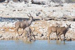Herd of Kudu drinking from Okaukuejo waterhole. Wildlife Safari in the Etosha National Park, majestic travel destination in Namibi Royalty Free Stock Image