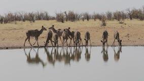 Herd of Kudu drinking from waterhole stock video footage