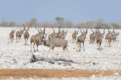 Herd of Kudu walking in the Namibian desert. Wildlife Safari in the Etosha National Park, majestic travel destination in Namibia, Royalty Free Stock Photos