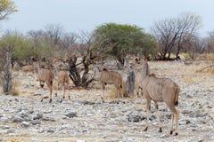 Herd of Kudu on way to waterhole Stock Images