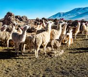 Herd of lamas grazing on the Bolivian altiplano on the background of magnificent volcanoes. Domestic lama. Cute animals.  royalty free stock images