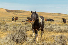 Herd Leader. Curious Wild Stallion In Front Of Small Group Of Wild Horses, McCullough Peaks Wild Horse Herd Management Area, Wyoming Royalty Free Stock Image