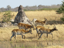 Herd of  lechwe. Africa Botswana Okavango  delta  herd of  lechwe Stock Photography