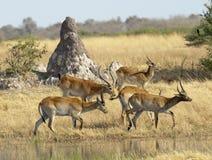 Herd of  lechwe Stock Photography
