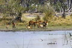 Herd of Lechwe antelopes Stock Image