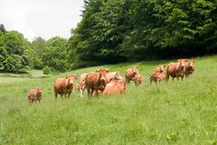 Herd of limousin cow. With calf in a meadow at spring time Royalty Free Stock Image