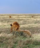 Herd of lions Royalty Free Stock Images