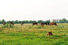 Herd and little foal Royalty Free Stock Photography