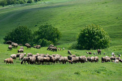 Herd of livestock grazing. Royalty Free Stock Photography