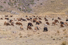 Herd of Llamas and Alpacas in Andes Mountains,  Peru Royalty Free Stock Photography