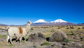 Herd of llamas andean, grazing in the highlands of the Andes Stock Images