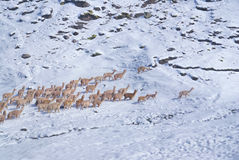 Herd of Llamas in Andes. Herd of domestic alpacas on snow in high altitudes in peruvian Andes, south America royalty free stock photo