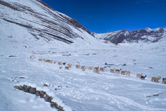 Herd of Llamas in Andes Royalty Free Stock Image