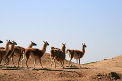 A herd of llamas (Guanaco) Royalty Free Stock Photo