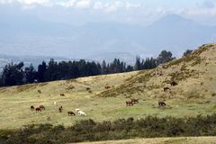 Herd of llamas. At the pre-Colombian ruins of Cochasqui, near Quito, Ecuador royalty free stock photo