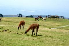 Herd of llamas. At the pre-Colombian ruins of Cochasqui, near Quito, Ecuador royalty free stock photos