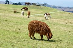 Herd of llamas. At the pre-Colombian ruins of Cochasqui, near Quito, Ecuador royalty free stock image