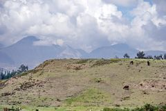 Herd of llamas. On a plateau at the pre-Colombian ruins of Cochasqui, near Quito, Ecuador stock photography